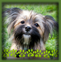 Gizmo′s fosters couldn′t resist his super cuteness and have decided to adopt him. He′s a Yorkie/ShihTzu puppy. Can you believe he was a stray?