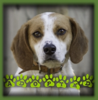 Miley is a year old Foxhound who found her home before even making it to the websites. We had a loving couple waiting for the perfect dog to come along. They met our sweet Miley at a promotional event and knew she was the one. Her name is Zelda now and she lives in Kitchener.