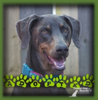 Steele had an application minutes after being posted for adoption. Her family has been patiently waiting for just the right Doberman to come along and Steele was it. She is named Sheila now and has a comfy couch to call her own in her home in Guelph that she shares with her family and Poodle sister.