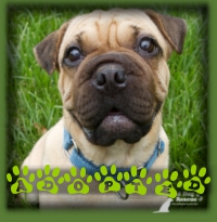 Fiona found her forever home in Kitchener and has a Pug/SharPei brother! How perfect!