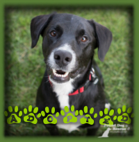 Judd is a lovely Lab/Border Collie who found a home before hitting the website. We had a couple looking for a great natured dog to love and he was the perfect fit. Even a diagnosis of Lyme disease didn′t deter his new family from adopting this wonderful boy.