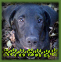 Charlee was a special selection from the pound for a family looking for a black Lab pup. She was exactly what they were looking for and was promptly adopted.