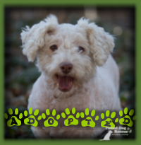 Gracie the Bichon X found a home with a retired lady looking for a mature Bichon for companionship and a walking partner. Gracie was the perfect match and found her forever home in Drumbo. Gracie is called Molly now and she and her mom are the best of friends.