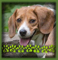 Tally found her forever home with a retired couple who live in rural Selkirk, looking to downsize after a life with Wolfhounds. They had a fondness for Beagles and when they saw how sweet and calm Tally was realized that their search was over for the perfect Beagle. She is named Tilly now and is enjoying country walks and couch cuddles.