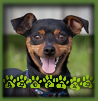 Hemi was the perfect fit as his forever family really wanted another Min Pin after their last cherished dog passed away. Hemi won them over right away with his comical antics and joy for life. Hemi′s got it made!