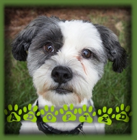 Jordan is a happy and friendly ShihTzu X who we rescued from the pound. We had a great family waiting for a lovely non shedding small dog to come along. Jordan was the perfect fit and he′s now a much loved member of their family