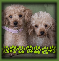 These 2 dolls are Daisy and Rosie and they are Toy Poodles we rescued as a bonded pair. Their foster mom found them a perfect home together with a neighbour family that had a beloved Poodle that passed away. These 2 have the best home ever where they will be loved and cared for forever and never parted.