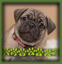 Stormy found a forever home in Millgrove with a retired couple looking for the active pup to eventually join them on long walks and hikes. Stormy was our most active puppy and suited them perfectly. She is called Mei-Li now after her Chinese Pug heritage.