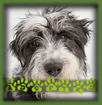 Wallace is a Bearded Collie X who never made it to the website as he was discovered by family members of his foster family and it was love at first sight. He lives in St. Thomas now and has a Goldendoodle as a buddy.