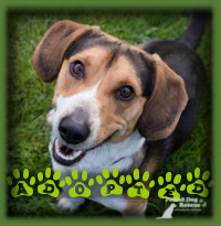 Clipper found a wonderful home in Baden with a couple looking for their first dog together. A Beagle was what the breed that they were looking for and they couldn′t have found a better one. Clipper is enjoying daily walks, a neighbour kitty friend and lots of doggie friends too.