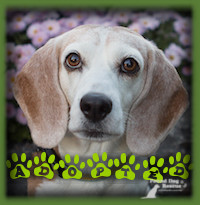 Hilde is starting 2018 off with a forever family!!! Hilde is now living in Windsor, Ont with a retired couple who were looking for a mature female Beagle after a previous beloved Beagle passed away. Hilde was everything they were looking for and it was an immediate love connection. Hilde has a beautiful fenced yard, lots of great walking trails and the security of being a loved family member.