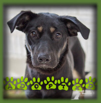Tierney is a super sweet 6mth old female Shepherd mix that was lucky enough to be adopted to one of our vet staff who was looking for a dog of her very own. Tierney came in to be spayed and a love match was made. Tierney is lucky enough to go to work with her mom every day and has taken on the role of office dog quite easily. She is called Tessa now.